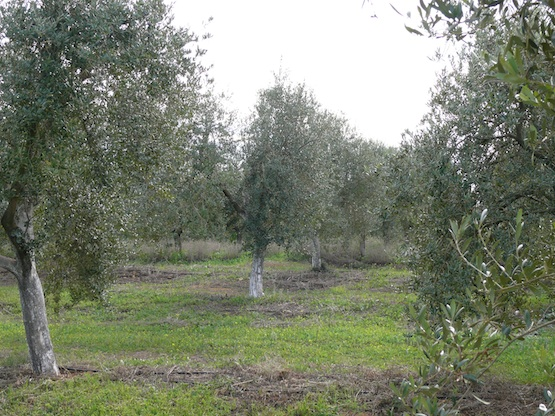 Olivares en La Hacienda