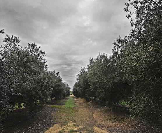 Olivos de La Hacienda Merrha