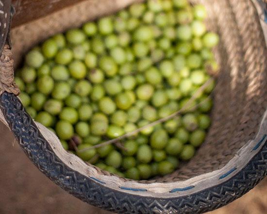 Cesto de aceitunas en el Aljarafe