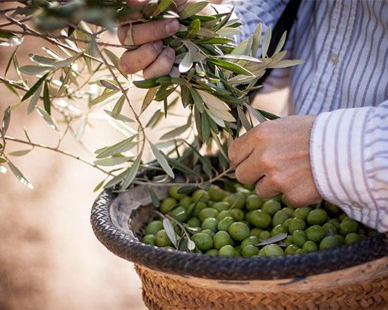 Recogida de aceitunas verdes