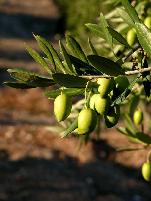Reino Picudo olivas