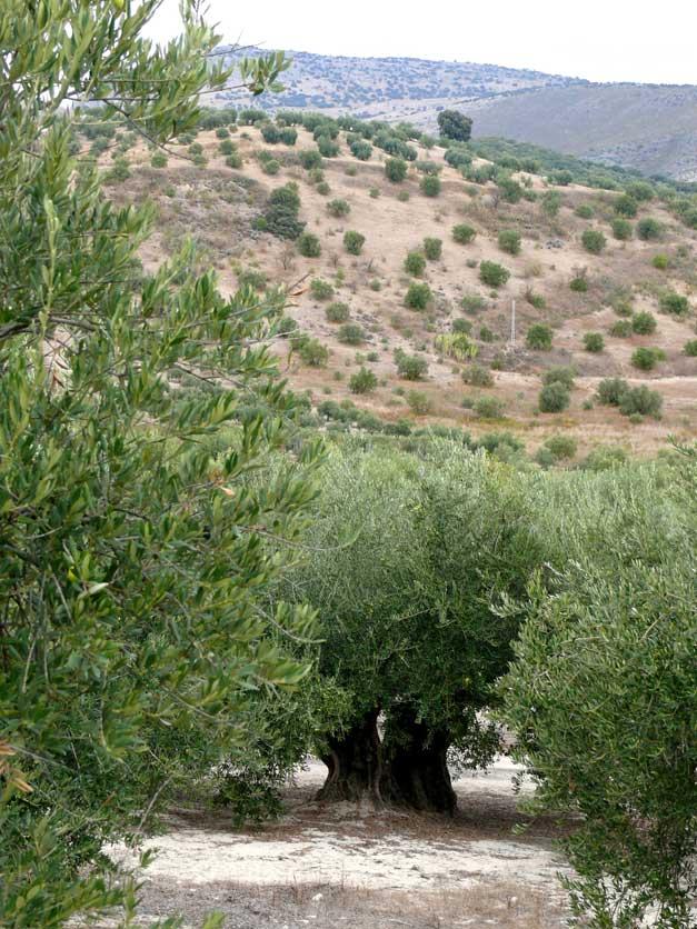 Reino Picudo olivos